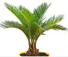 indoor home or office palms